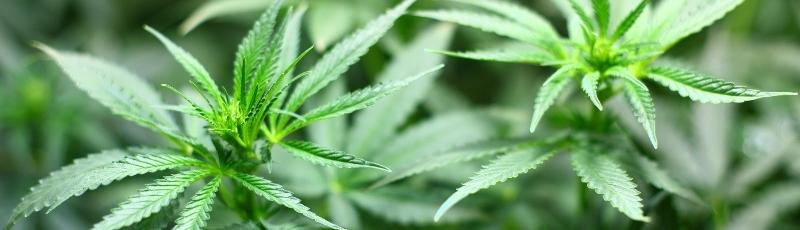 difference entre chanvre et cannabis