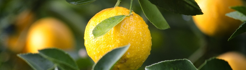 terpene chanvre citronné